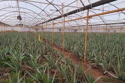 یک واحد گلخانه در شهرستان بوئین زهرا افتتاح شد