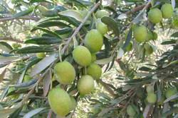 باغداران ازبرداشت زیتون جهت کنسرو خودداری کنند/ اعلام قیمت نهایی روغن زیتون تا آخر هفته
