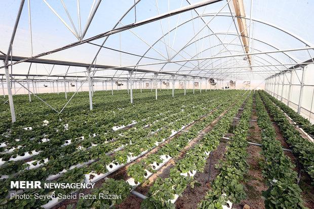 تولید و اشتغال گلخانه آقای حسین محمدنادر جانباز 45 درصد در اشتهارد کرج