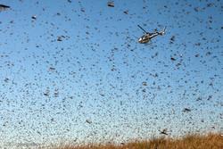کانون ملخ دریایی در ۱۰ هکتار از مزارع شادگان سمپاشی شد