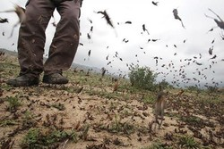 مبارزه با ملخ صحرایی بدون تخصیص اعتبار ملی در سیستان وبلوچستان