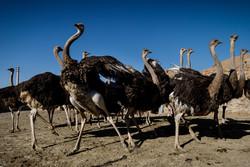 سیستان وبلوچستان ظرفیت مناسبی برای پرورش شتر مرغ دارد
