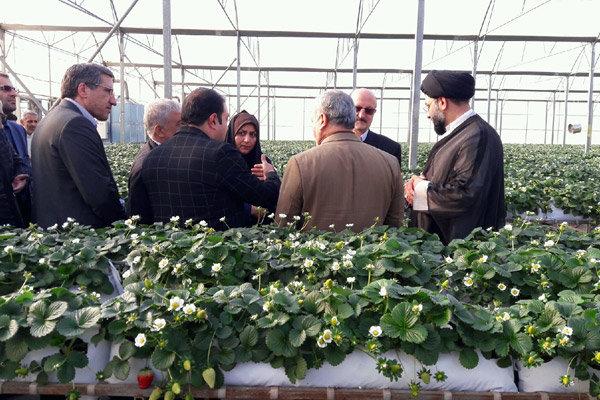 کشت محصولات گلخانه ای در استان قزوین توسعه می یابد