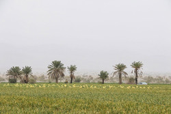 ۴۸۰ هزار هکتار کشاورزی حفاظتی در خوزستان اجرا می شود