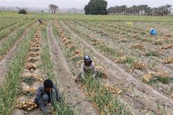هیچ اراده ای برای تقویت بخش خصوصی کشاورزی وجود ندارد