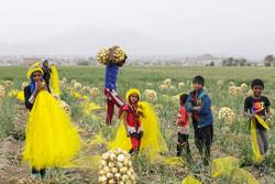 برداشت محصول پیاز از مزارع کشاورزی هشت بندی