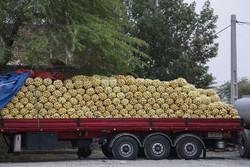 قاچاق پیاز با کامیونهای حامل گوجه!/سیل، برداشت پیاز را به تاخیر انداخت