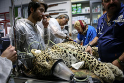 Persian leopard undergoes artificial insemination