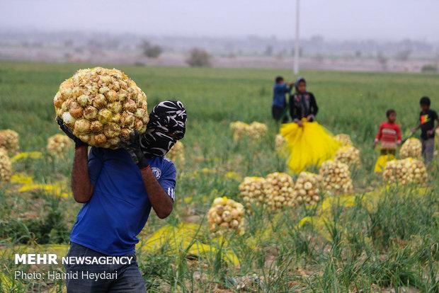 سالانه بالغ بر ۲میلیون و۹۰۰هزار تن محصول زراعی وباغی تولید می شود