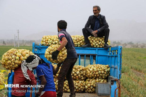 افزایش ۴۶۰ درصدی قیمت پیاز/سیبزمینی ۲۰۷ درصد گران شد