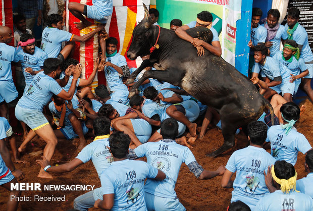 جشنواره گاوبازی در هند