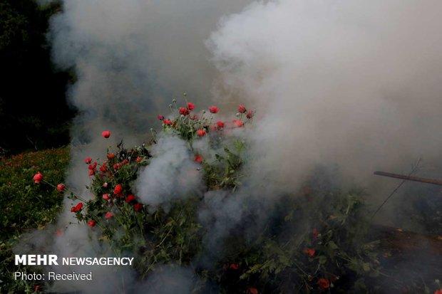 مبارزه ارتش مکزیک با کاشت خشخاش