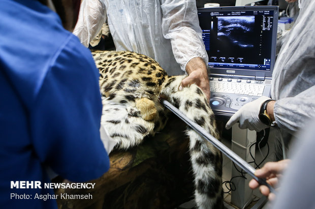 Artificial insemination performed on Persian leopard