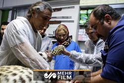 گزارش ویدئویی مهر از لقاح مصنوعی پلنگ در باغوحش تهران