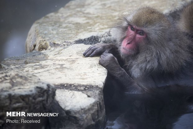آبتنی میمون ها در چشمه آب گرم ژاپن
