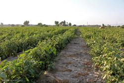 اصفهان رتبه دوم تولید محصولات جالیزی کشور را دارد