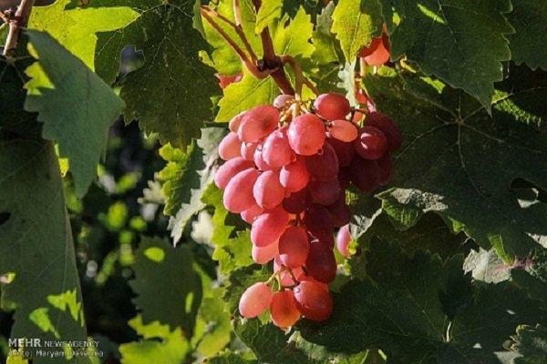 ۲۰۰ هزار تن انگور از باغات آذربایجان غربی برداشت می شود