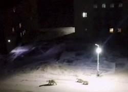 خرس های قطبی به شهری در شمال روسیه حمله کردند