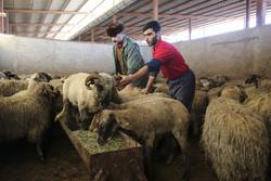 ورود ۱۳هزار و ۵۰۰ راس گوسفند به اروند/هر کیلو گوشت ۴۳۵۰۰ تومان