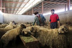 تکذیب صادرات گوسفند به عراق توسط موتورسوار/ترانزیت ۱۸ هزار راس گوسفند نر ترک از مسیر ایران به  قطر