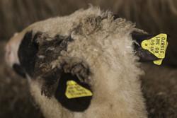 بارور شدن ۳۴ گوسفند با قدیمی ترین اسپرم جهان