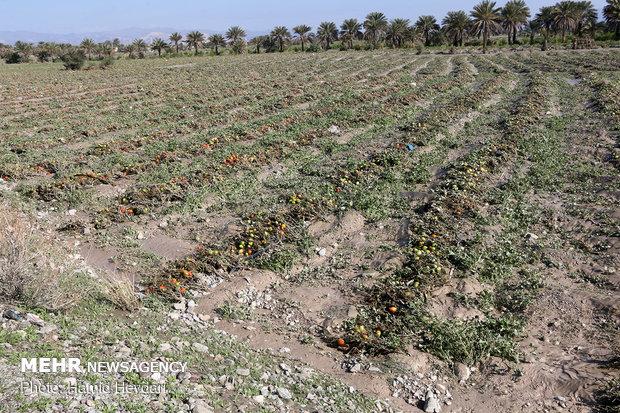 خسارت سیلاب به مزارع و منازل کشاورزان در هشت بندی هرمزگان