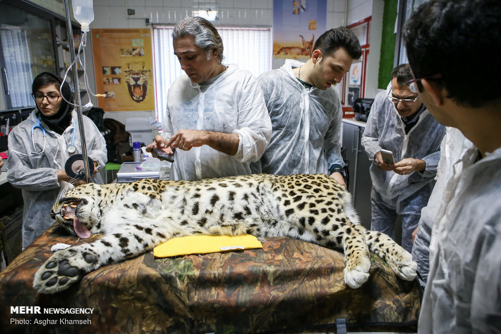 Success in artificial insemination in Persian leopards may raise hopes for rare big cats: wildlife biologist