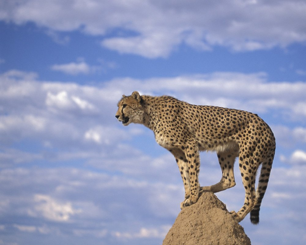 $4m earmarked for Asiatic cheetah conservation - Tehran Times