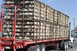 محموله غیرمجاز مرغ زنده تخمگذار در میبد توقیف شد