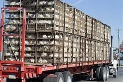 ۳۴۰۰ قطعه مرغ زنده قاچاق در میاندوآب کشف شد