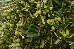 Olive oil production surges by 30%