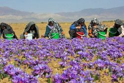 Trafficking saffron to Afghanistan reduces its official exports: Official