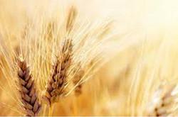 برداشت گندم در ایرانشهر آغاز شد