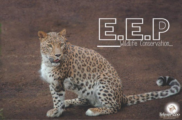 Leopards attempt natural mating in Tehran zoo for first time