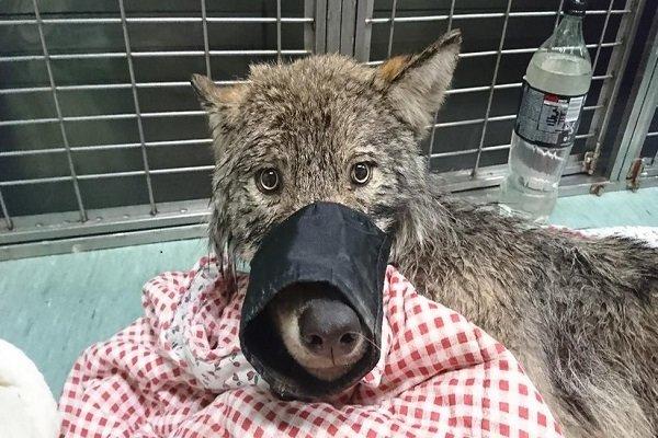 'Köpek' diye kurtarılan hayvan bakın ne çıktı!