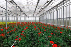 واحدهای تولید گل محلات در پی شیوع کرونا دچار مشکل فروش شدند