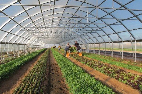 42000 مترمربع گلخانه در کرمان ایجاد شده است