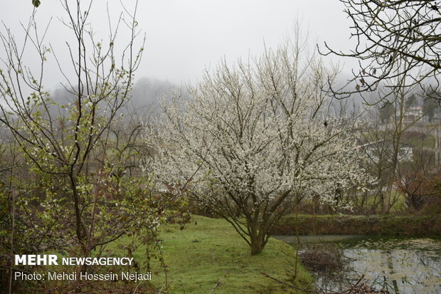 Early spring blossoms in north Iran