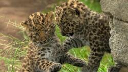 Persian Leopard cubs found dead in southwestern Iran