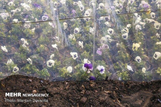 استقبال از نوروز با گلهای بهاری در بجنورد