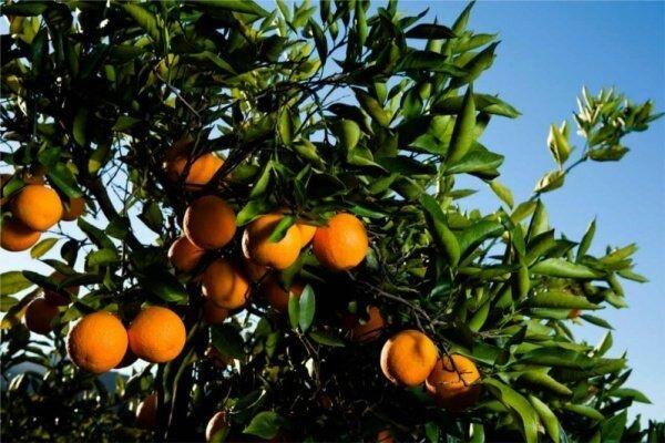 نیازی به واردات نارنگی نداریم/رشد ۷ درصدی تولید کیوی
