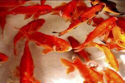توصیههایی برای نگهداری ماهی قرمز / از دادن نان خشک به ماهی خودداری کنید