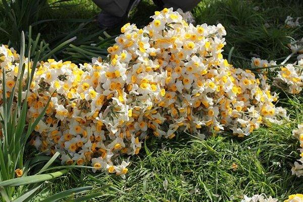 جشنواره گل نرگس در جویبار برگزار می شود