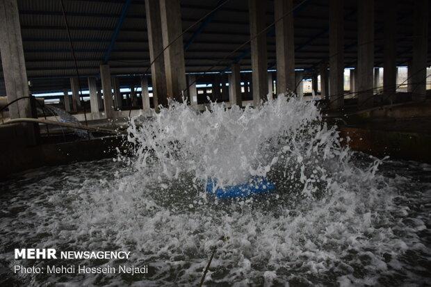 ماهیان خاویاری در دزفول پرورش داده میشوند