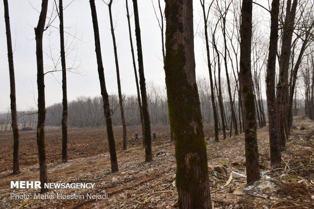 میزان ارزش چوب تولیدی در جنگل های شمال ۵۵۰ میلیارد تومان است