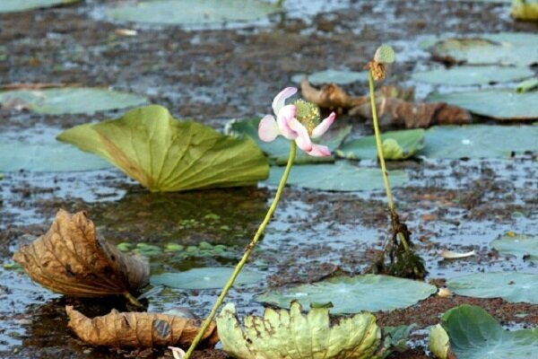 اثرات مخرب اجرای طرح بایوجمی بر محیط زیست گیلان