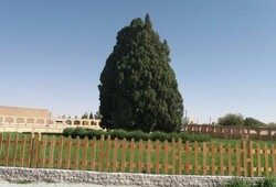 World's 3rd oldest tree 'Cypress of Abarkuh' in Yazd became 4500 years old