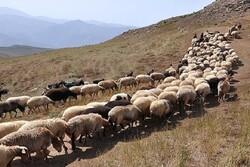 قاچاق دام توسط عشایر خراسان شمالی گزارش نشده است