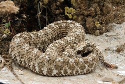 CITES seeking to ban rare spider-tailed horned viper trade