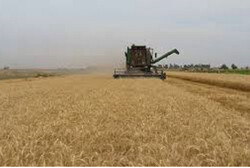 برداشت گندم در سطح ۹ هزار هکتار از اراضی مهران آغاز شد